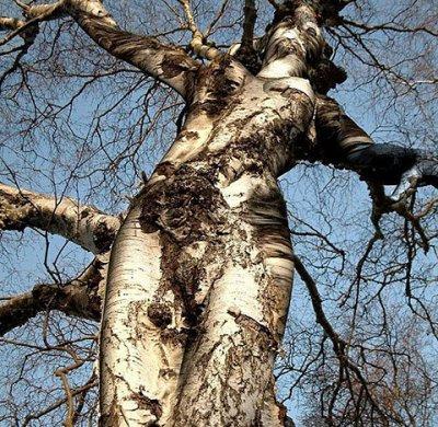 comme les arbres, ou presque