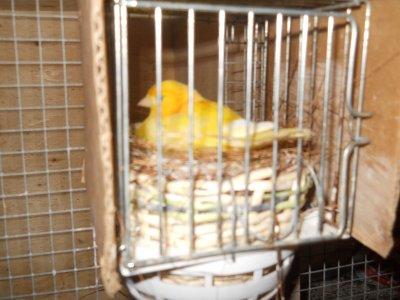 Nid fini pour le couple de canari n°2