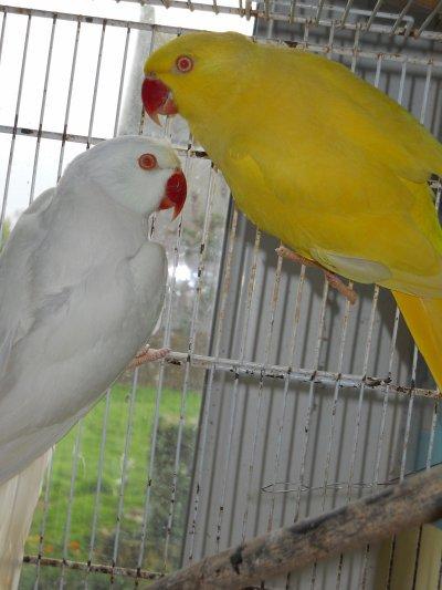 Problème avec mes perruches à collier