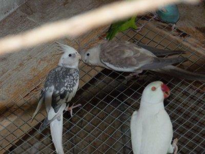 Nouvelle acquisition : Calopsittes Face blanche . Couple