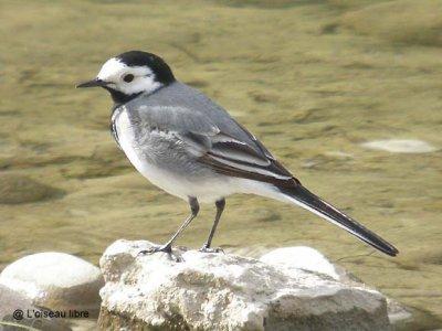 Fiche esp ce oiseau de la nature du jour la for Oiseau gris et blanc