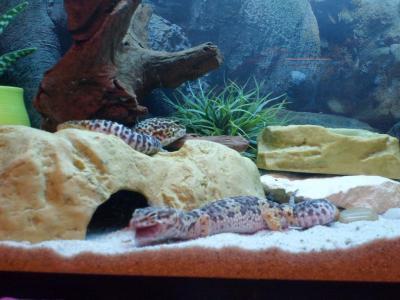 decor terrarium gecko leopard