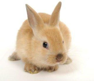 Le lapin nain de couleur
