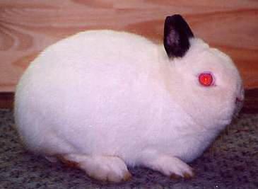 l'Hermine de Lutterbach à oreilles colorées ou panachées