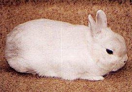 le lapin nain cendré écru