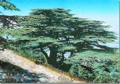Le cedre libanais et fier de l 39 tre - Cedre bleu du liban ...