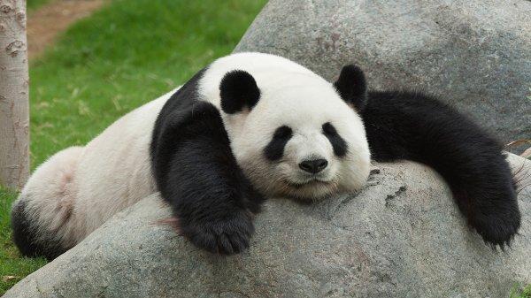 Je suis un panda. Mais un panda sexy !