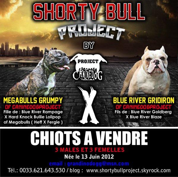 Shortybulls pupies a vendre