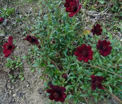 Le coin jardin d'aurélien n°4 les plantes parfumées