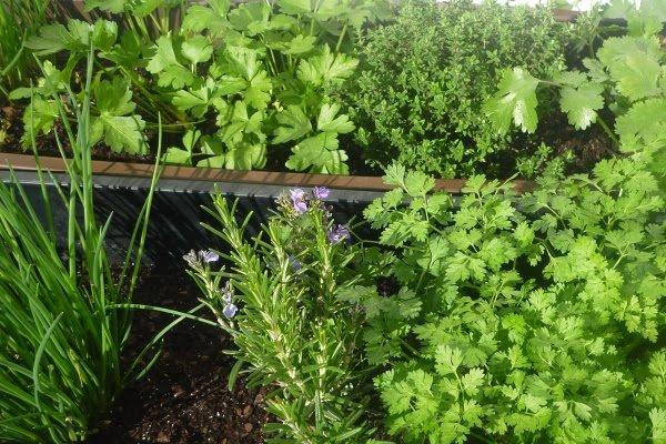 Le coin jardin d'aurélien n°5 les plantes aromatiques