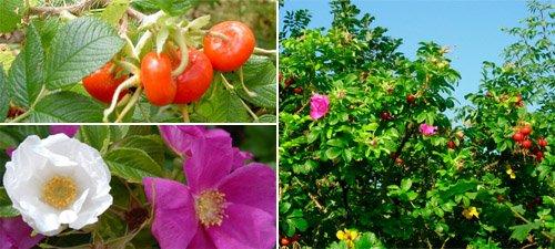 Le coin jardin d'aurélien n°7 les rosiers