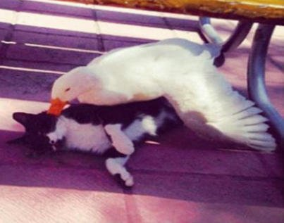 Une Amitié entre un Chat et un Canard, plutôt improbable!!!!