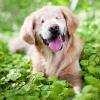 Smiley, le Golden Retriever sans yeux sauvé d'une usine à chiot pour devenir chien de thérapie
