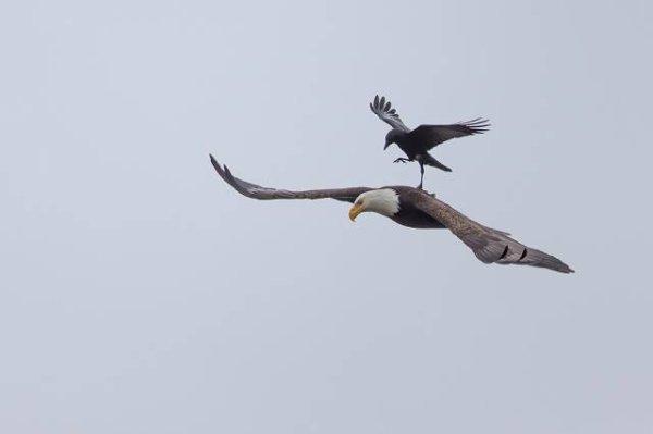 Un Corbeau s'offre une course gratuite sur le dos d'un Aigle