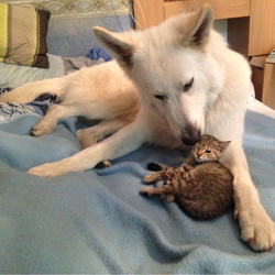 Appache et Alto, ou quand un chien de berger se prend d'amour pour un chaton