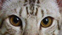 Quizz spécial experts : reconnaîtrez-vous ces races de chats à leur regard ? Réponses mises mercredi 30 septembre