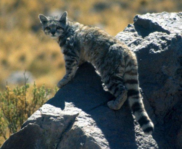 Six nouvelles photos capturées de l'un des chats les plus rares de la planète