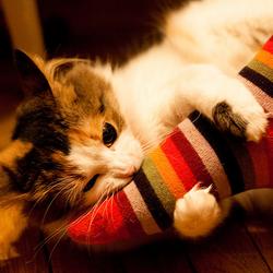 Le chat, les chaussettes, les chaussons et les chaussures : mais pourquoi les aime-t-il tant ?