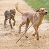 Quand nos animaux domestiques volent au secours des animaux sauvages