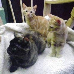 Trois chatons abandonnés survivent grâce à un Staffordshire Bull Terrier
