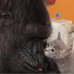 Quand Koko le gorille se prend d'amour pour des chatons!