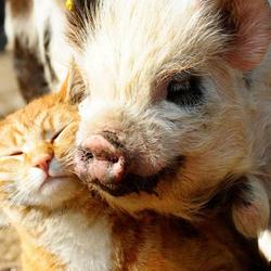 Que se passe-t-il quand un chat choisit un cochon pour meilleur ami ?