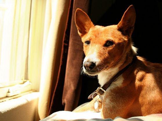 10 races de chiens qui n'aboient pas, ou très peu !