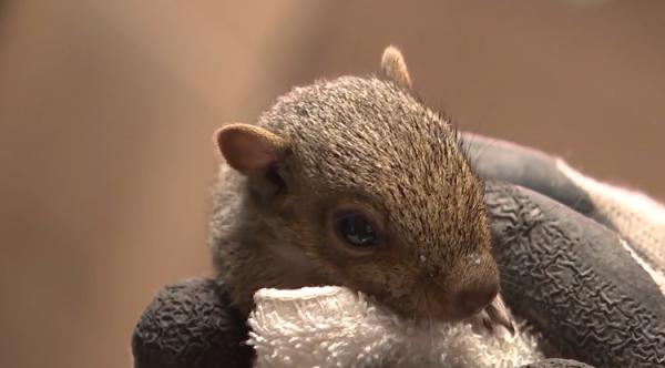 Le sauvetage d'un écureuil orphelin, véritable miraculé