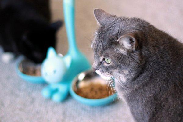 Le diabète chez le chat : 5 choses à savoir sur le chat diabétique