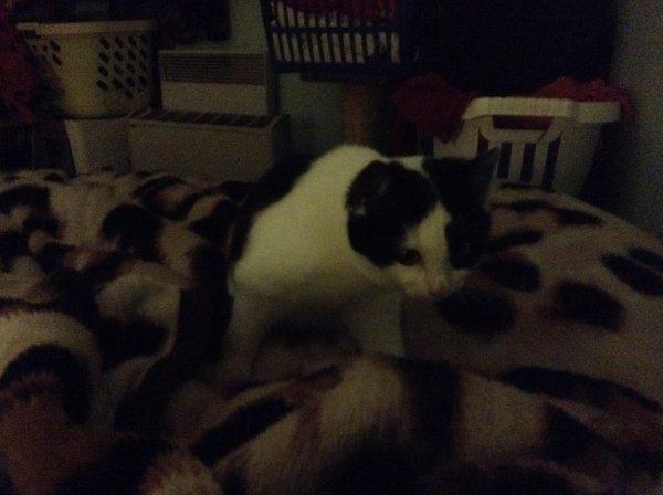 J'ai trois de mes chats qui sont malades chez moi aussi, Caramel, Mooky et Merlin ont une laryngite virale, le veto se donne cinq jours avant de les mettre sous antibiotiques mais par précautions, en vue des fêtes, j'ai déjà acheté le traitement pour chacun, donc Fluixidine prévu en cas où.