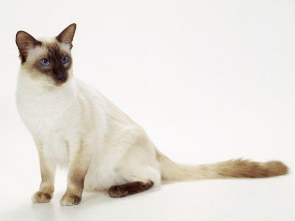 Les 6 races de chats qui ne rendent pas allergiques! À savoir absolument!