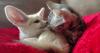 Élevés comme des frères, ce chaton et ce fennec vont vous faire fondre !