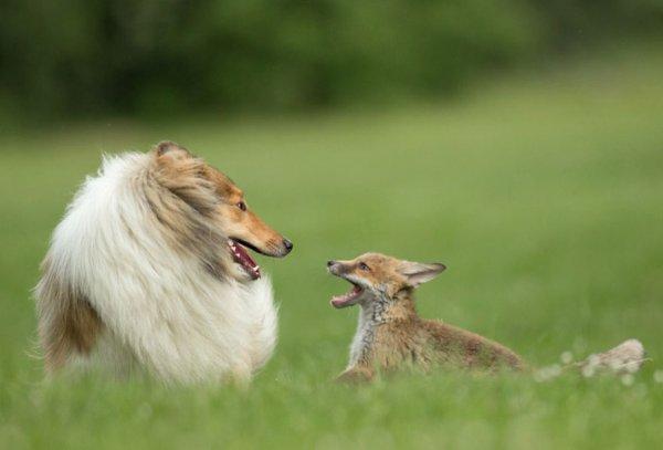 Картинки по запросу collie and fox