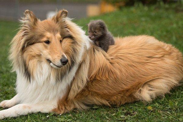 Orphelin, ce renardeau a été adopté par une adorable chienne