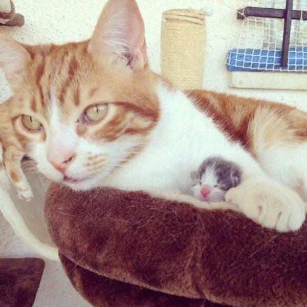 Ce chat est devenu papa d'un petit chaton orphelin