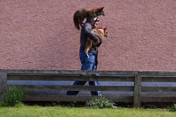 Cet homme a passé sa vie à sauver des renards. Aujourd'hui, ils font partie de sa famille.