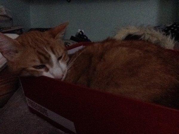 Les chats adorent les cartons d'emballage