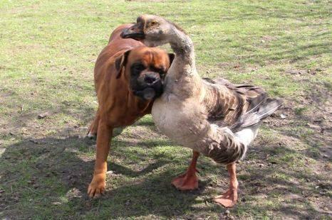 """Une oie guide son ami, un chien aveugle Baks est aveugle. Mais sa vie a changé grâce à son amie, une oie nommée Buttons qui le conduit désormais partout en le guidant avec son cou ou en cancanant pour lui indiquer les directions.  Renata, leur compagne humaine, se souvient de l'accident dans lequel Baks a perdu la vue : """"progressivement, Buttons s'est mise à le relever et à l'aider à se promener. Maintenant ils sont inséparables : ils courent même après le facteur ensemble !"""""""