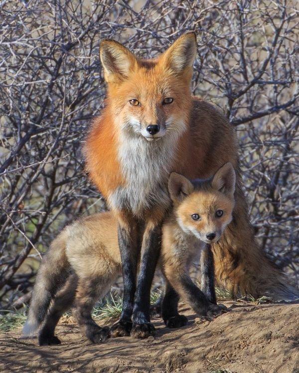J'adore les renards et leur attitude canine ......si choux