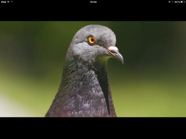 """Deux pigeons pourtant différents qui s'aiment tendrement """"......"""