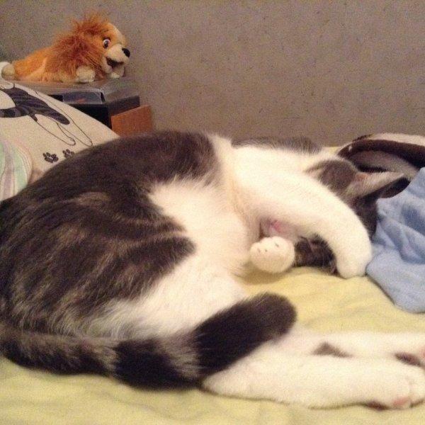 Hubert, petit chat devenu grand, le sait il? Je n'en suis pas si sûre, vu qu'il s'évertue à rentrer dans des boîtes un peu juste pour lui.....