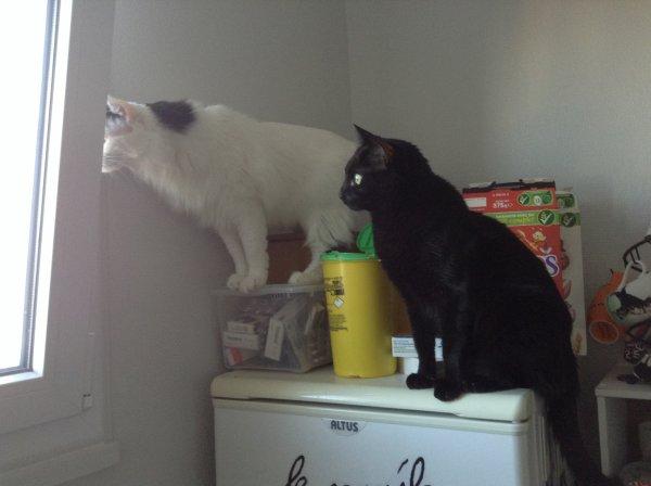 Des pigeons sont venus narguer mes chats ....
