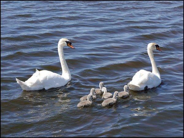 Hier, au lac St Point, nous avons eu une grande rencontre des plus appréciables, papa et maman cygnes sont venus nous présenter leurs six bébés cygneaux, comment peut on dire que ce sont de vilains petits canards, il n'y a rien de plus beau à mes yeux que du bonheur