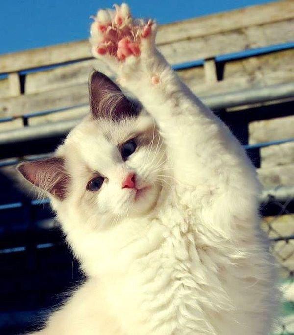 Attitudes Cats....ils sont surprenants dans leurs attitudes parfois humaines , n'est ce pas ?