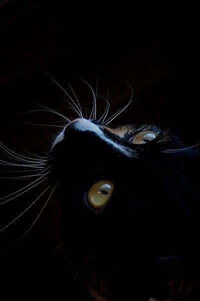 Amour de Félins noirs....