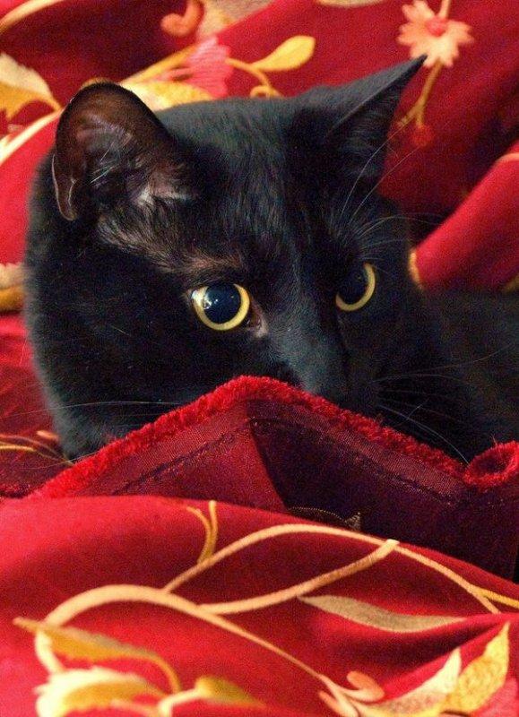 Chats Noirs , avant tout , et leur joli Regard.....
