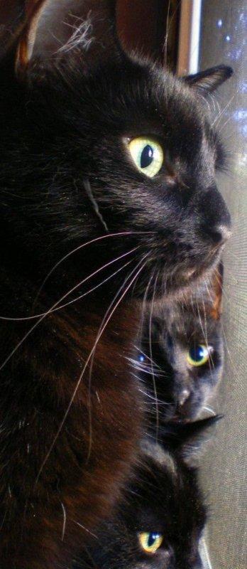 Chats Noirs = Raffinement et Élégance....
