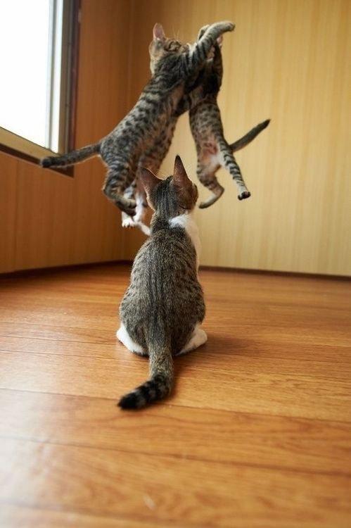 Attitudes Cats...ils se révèlent être parfois de vrais gymnastes...vous ne trouvez pas?
