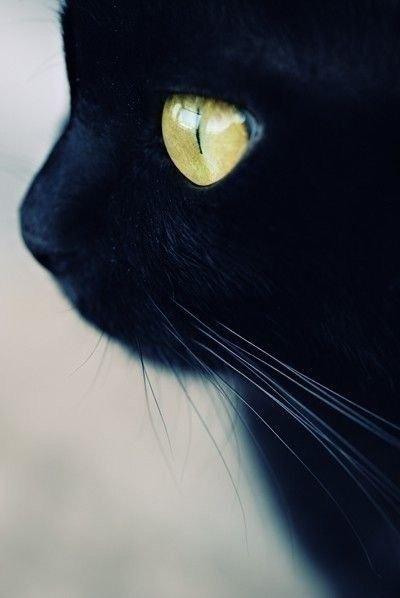 Ces jolis chats ressemblent à de jolies panthères, n'est-ce pas ?