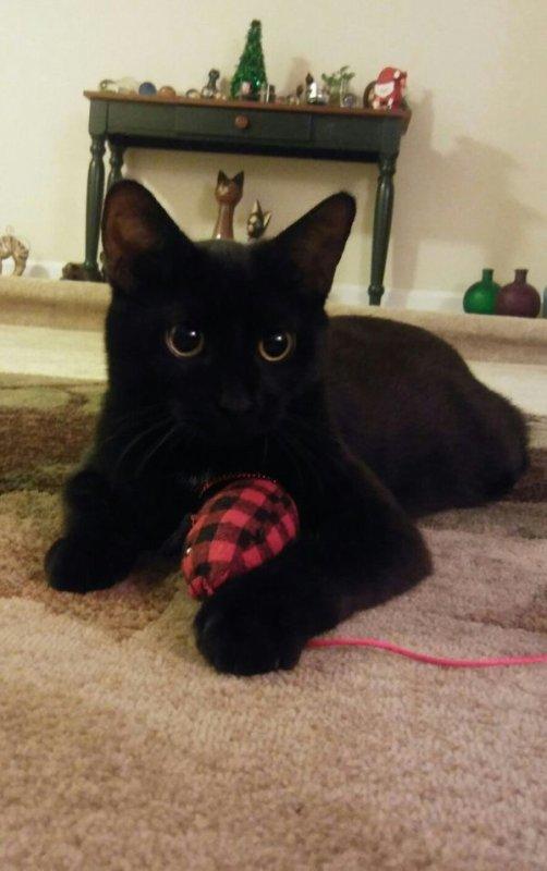 Magnifiques Chats Noirs .